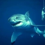 Shark Population Nears Extinction