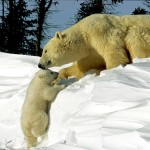 Future of the Polar Bears