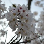 Interesting Facts about Cherry Blossoms or Sakura