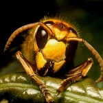 Interesting Facts about the Asian Killer Hornets