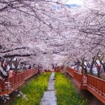 South Korea's Annual Cherry Blossom Festivals
