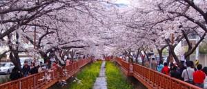 Jinhae-Gunhangje-Festival-Wisata-Korea