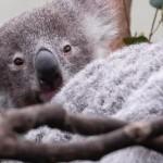 Koala's Future in Danger, Experts Say