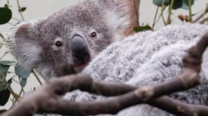 Koala's Future in Danger